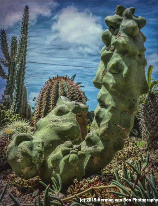 lophocereus-scotti-monstrose