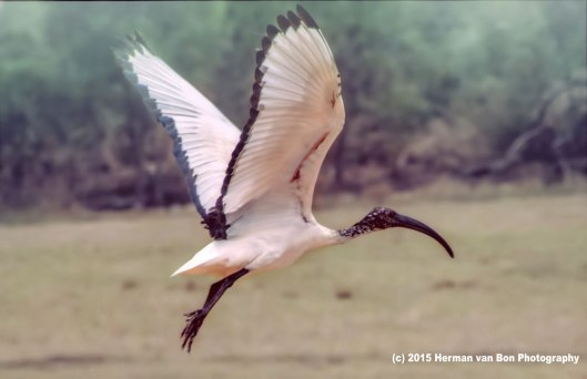 sacred-ibis-cool-morning