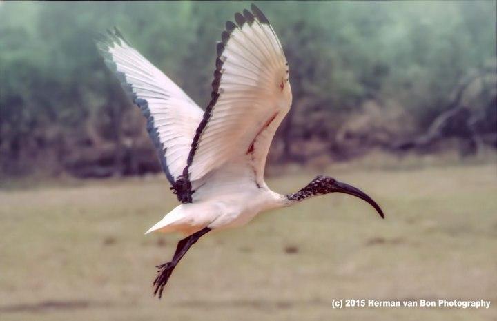 sacred-ibis-cool-morning