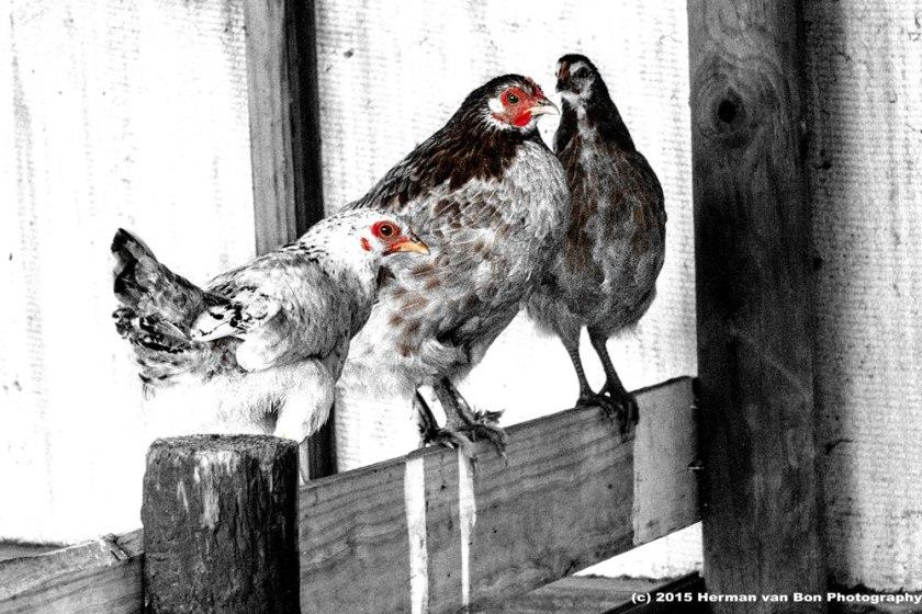 egg-producers