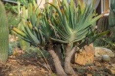 Aloe plicatillis R 900.00
