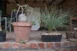 Pachypodium bispinosis R 1100.00 and Calabanus hookerii R 500.00