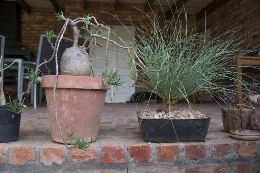 pachypodium-bispinosis-1100-calabanus-hookerii-500