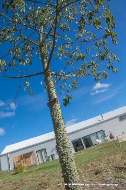 kapok-tree-planted
