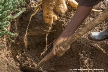 moringe-roots1