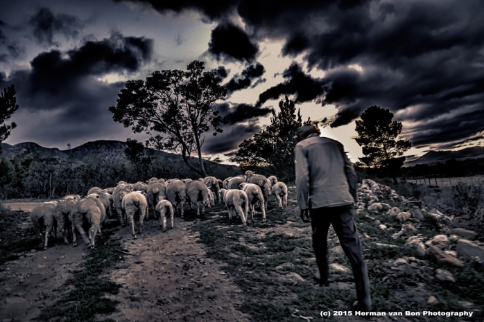 herding-sheep