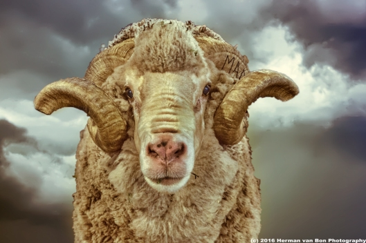 portrait-of-a-veld-merino