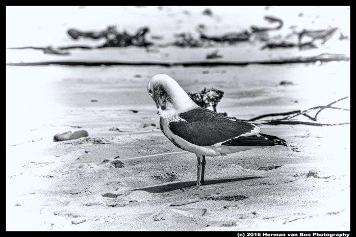 struisbaai-seagull-bw