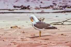 struisbaai-seagull2