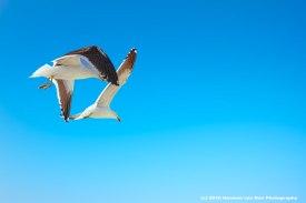 struisbaai-seagull4