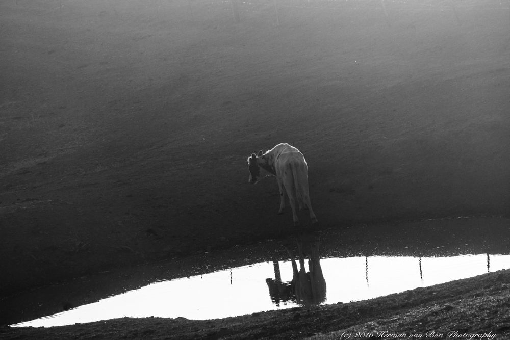 early-morning-cow