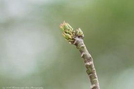 chorizia-speciosa
