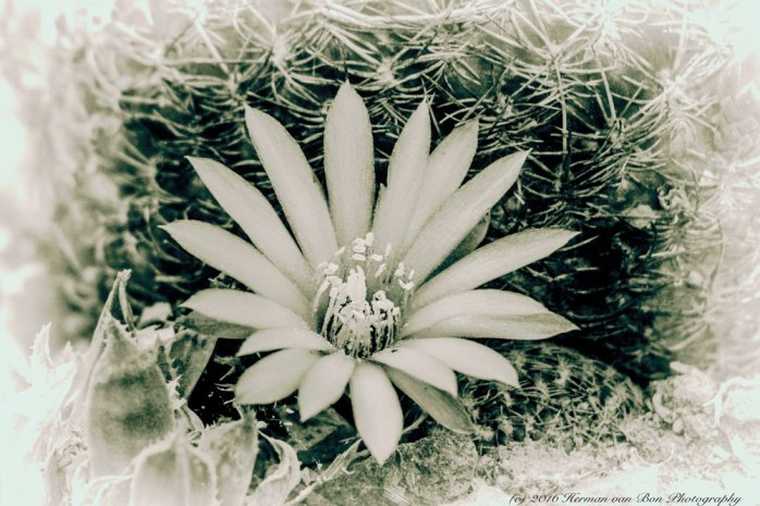parodia-flower