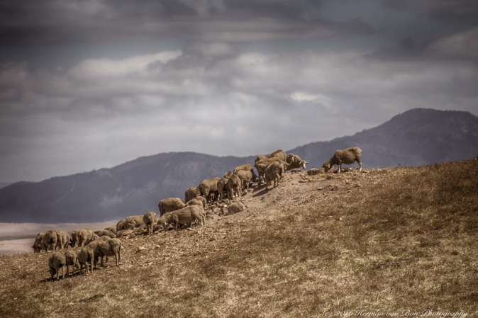 sheep-country