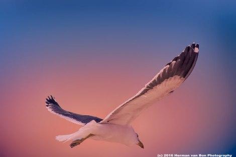 struisbaai-seagull3