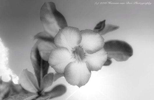 adenium-flower