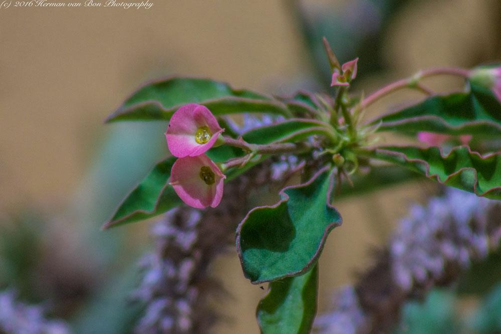 chirstmas-rose