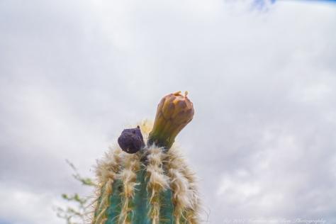 azuro-cactus