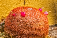melocactus-flower-making-seeds
