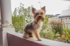 portrait-of-yorki2