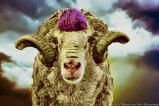 portrait-of-a-veld-merino-that-just-came-back-from-the-hair-saloon