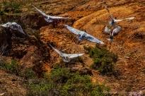 flight-of-the-ibis1