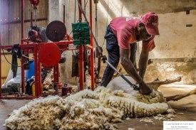 shearing1