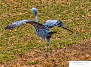 blue-crane-16oct17-4