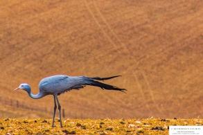 blue-crane16oct17-1