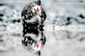 chicken-reflecion