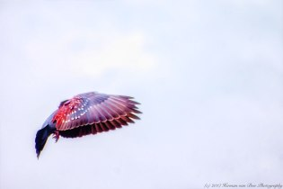 rock-pigeon