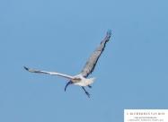 sacred-ibis-in-flight