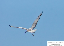 sacred-ibis-in-flight