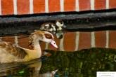 duckday2-1