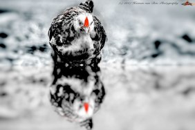 chicken-reflecion