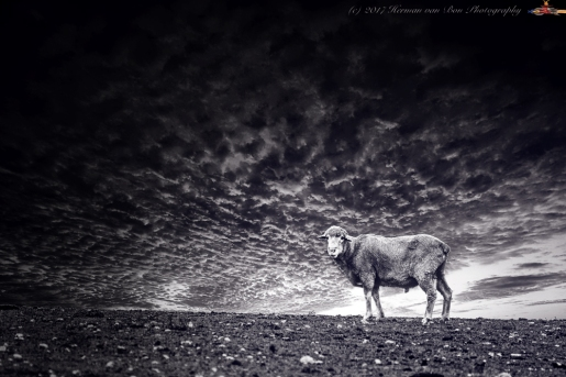 sunset-sheep-BW