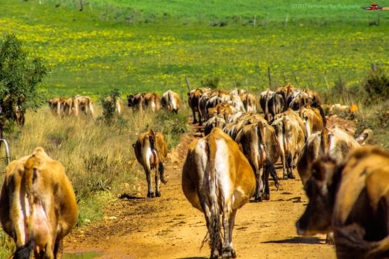 Traffic-jam-near-Magdalena-Farm-in-Napier