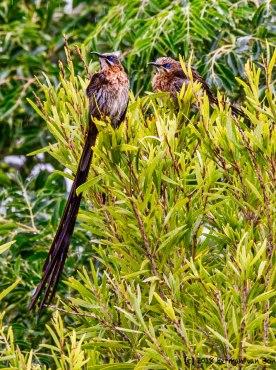 24feb18capesugarbirdsloverain