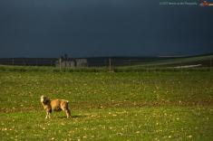 spot-on-sheep