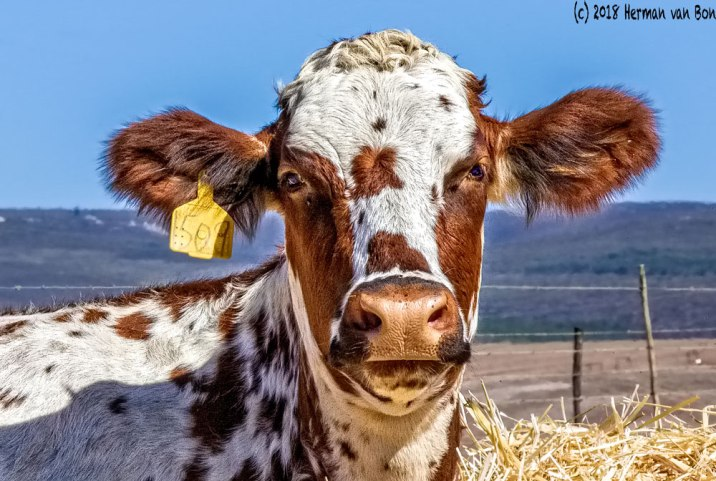 cowportrait1