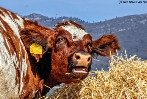 cowportrait10