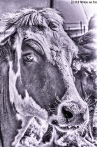 cowportrait4BWpsd