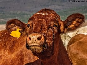 cowportrait8