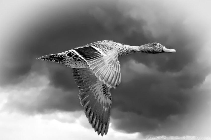 duckNapier