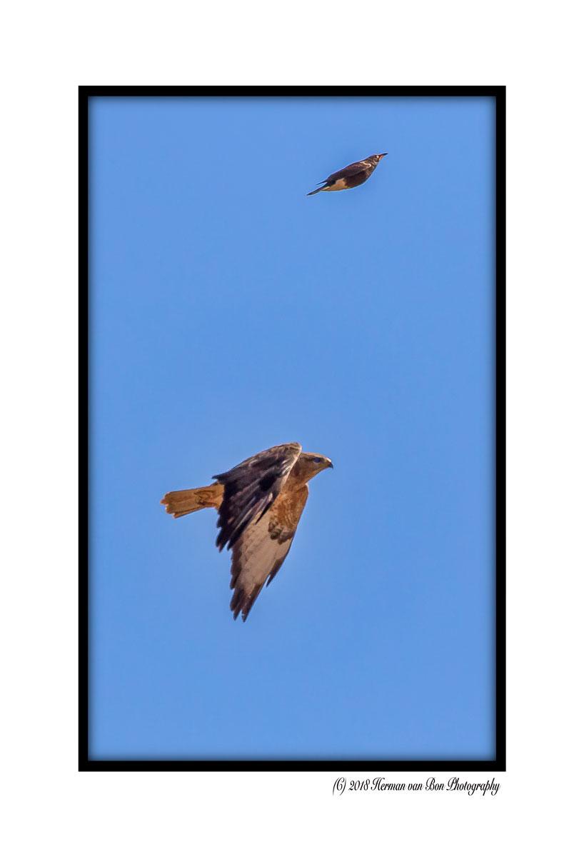 a predator bird looking down for its prey ....